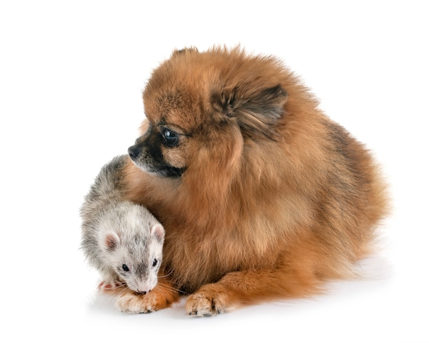Gray ferret and dog