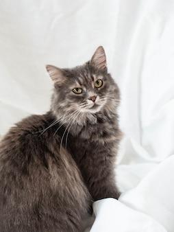 灰色のふわふわの大人の猫は半回転で座って反対します。白い繊維の背景