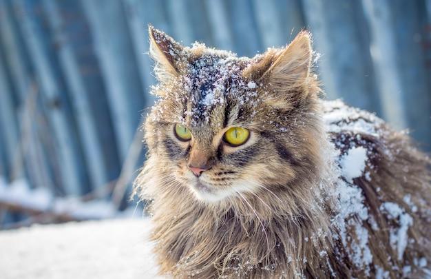 雪の中の灰色のふわふわ猫。冬の屋外の猫