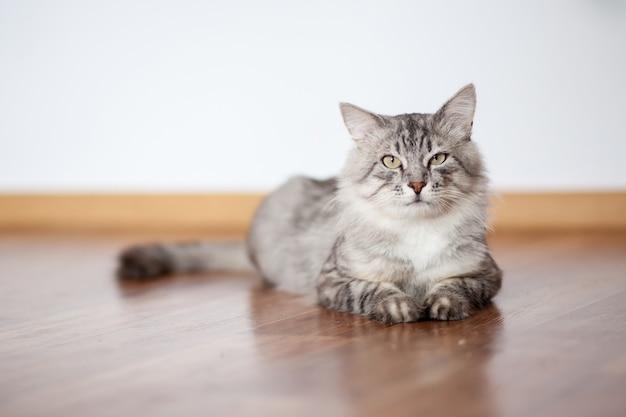 시베리아 품종의 회색 솜털 고양이