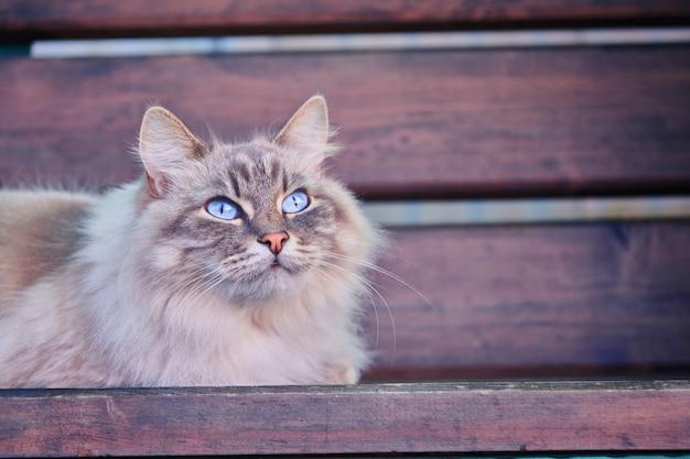 Серый пушистый кот с голубыми глазами лежит на деревянной поверхности. кошка с заинтересованным, вопросительным выражением лица. домашние животные и концепция образа жизни.