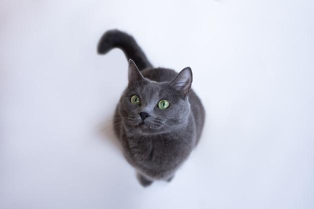 緑の目を持つ灰色のふわふわ猫は白い木の床に座って見上げる