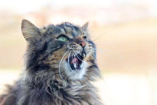 口を開けた灰色のふわふわ猫ニャー_
