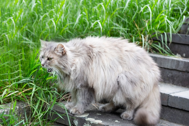 A gray fluffy cat yawns with its mouth wide open on the green grass in the morning sun. selective focus