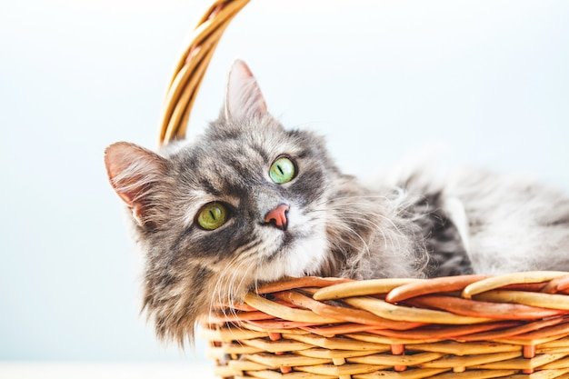 Gray fluffy lazy cat lies in a basket on a light background.