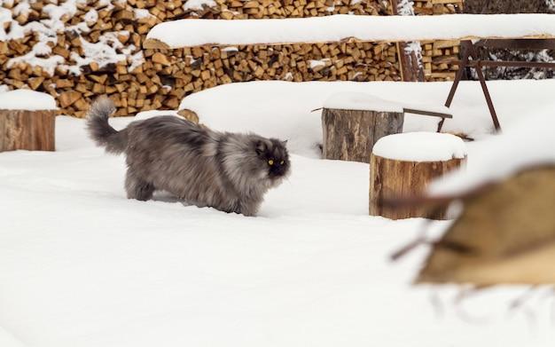 雪の上を歩く灰色のふわふわメインあらいくま猫