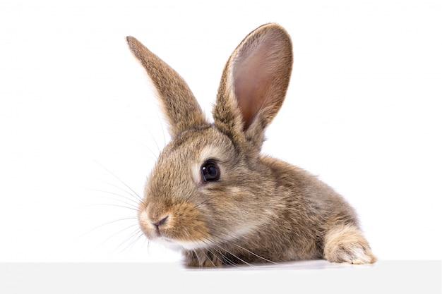 Серый пушистый кролик смотрит на вывеску