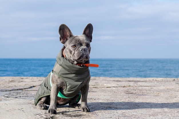 A gray french bulldog dog is sitting on a pier by the sea.