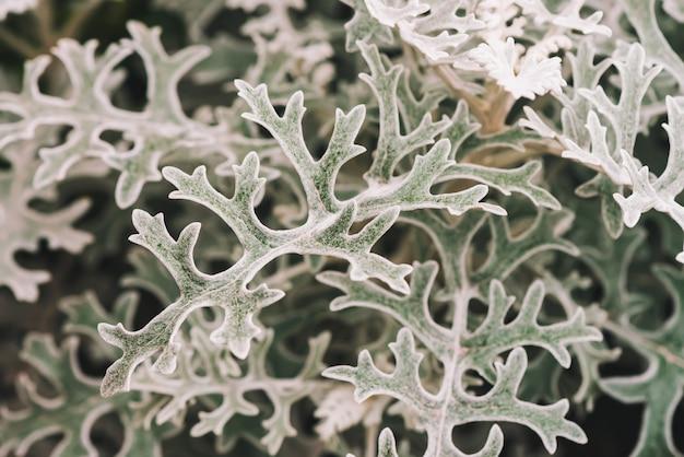 Gray green leaves of cineraria in macro