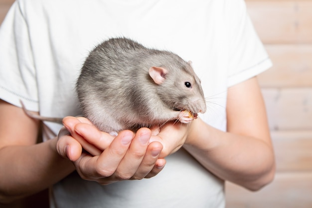 Gray hand rat dumbo in the hands of a child. pet, close-up. year of the rat 2020.