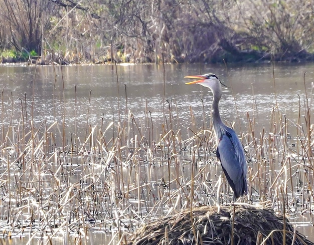 Gray heron on dry reeds on the lakeshore