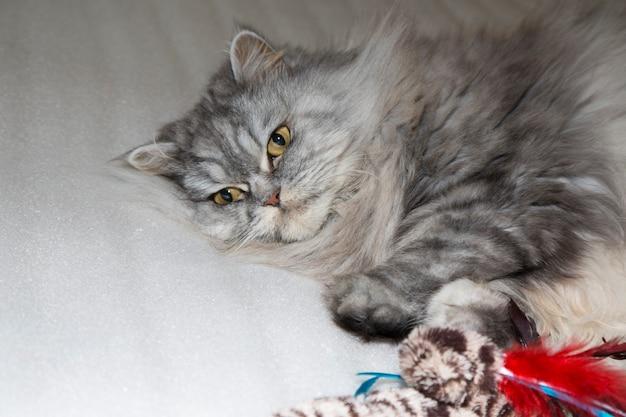 회색, 카와이, 귀엽고 푹신한 스코틀랜드 하이랜드 스트레이트 롱헤어 고양이는 큰 주황색 눈과 긴 콧수염을 집에서 침대에 가지고 있습니다. 초상화를 닫습니다.