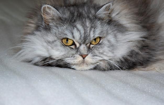 Серая, кавайная, милая, пушистая шотландская хайлендская прямошерстная кошка с большими оранжевыми глазами и длинными усами в постели у себя дома. крупным планом портрет.