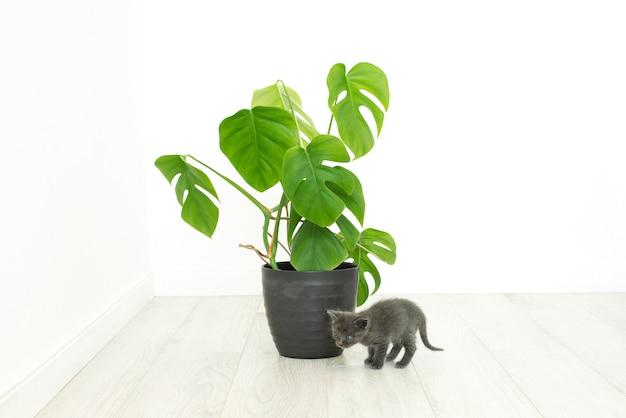 Серый котенок и домашнее растение монстера. комнатный цветок в интерьере без людей