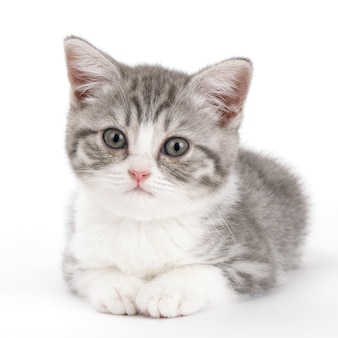 회색 고양이는 흰색 배경에 거짓말을하고 똑바로보고