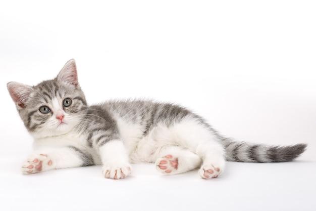 흰색에 회색 고양이 거짓말
