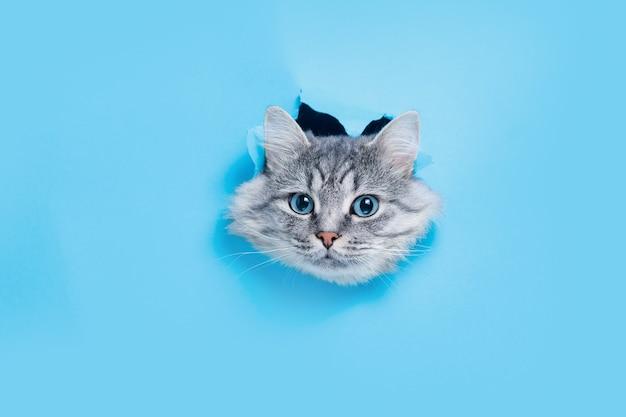 Серый котенок выглядывает из голубой рваной бумажной дыры