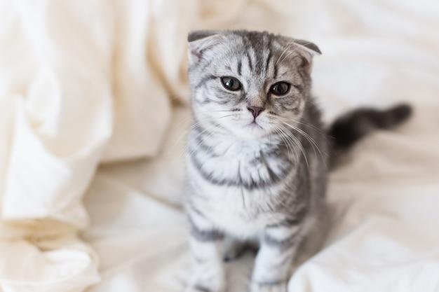침대에 회색 새끼 고양이 스코틀랜드 접기