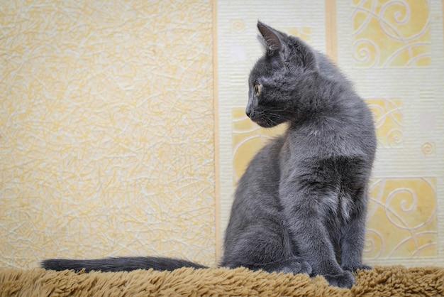 Серый котенок сидит на спинке дивана и заинтересованно смотрит в сторону