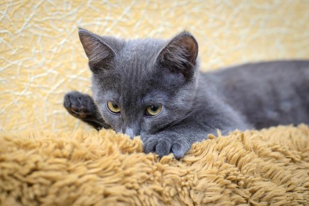 Серый котенок сосет шерстяные коричневые покрывала