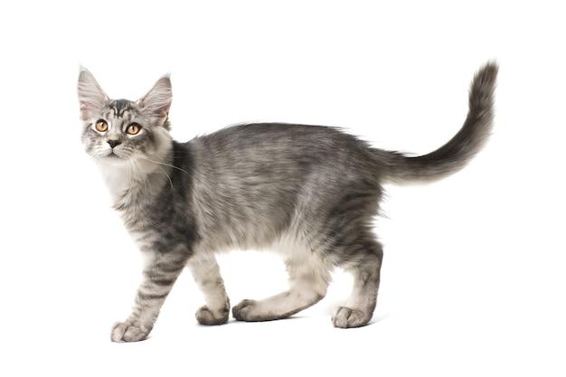 Серый котенок гуляет на белом фоне