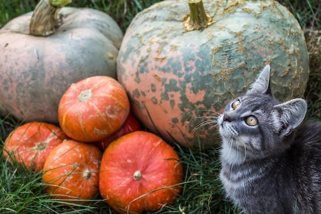 オレンジ色のカボチャと灰色の子猫