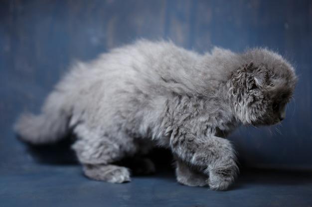 스코티시 폴드 품종의 회색 작은 고양이는 회색 배경에서 노는다