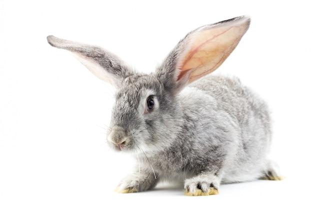 Gray little fluffy rabbit isolated