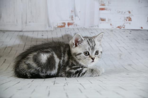 分離した白い壁に灰色のスコティッシュフォールド猫。クローズアップの肖像画の猫