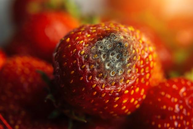 Серая плесень на красных спелых свежих клубниках с фермы, крупным планом, селективный фокус, размытый фон. процесс контроля качества перед отправкой в розницу. скоропортящиеся продукты опасны для здоровья.