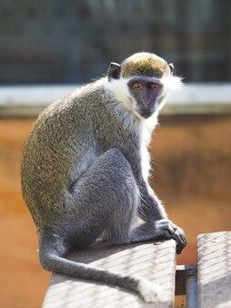 晴れた日には灰色の猿が木製のテーブルに座る_