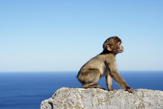 ジブラルタルの海のそばの石の壁に座っている灰色の猿