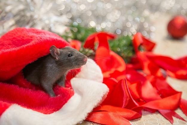 新年の属性の間を灰色のマウスが歩きます。動物はクリスマスの準備をしています。お祝い、衣装、装飾の概念。