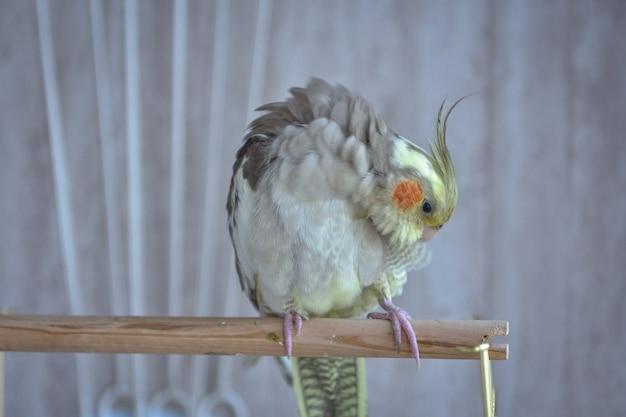 Серый попугай корелла чистит перья