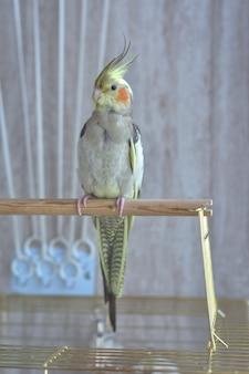 Серый попугай корелла сидит на окуня, серый попугай