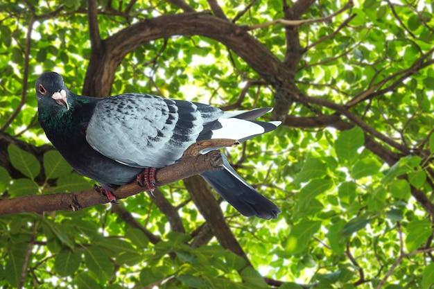 Серый голубь на ветке дерева