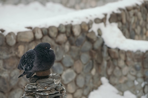 Gray pigeon on background of fence covered with snow