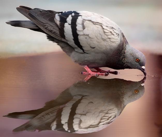 Серый голубь пьет воду из лужи