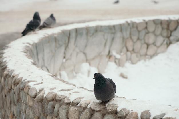 Серый голубь на круглом заборе в парке зимой на фоне других голубей