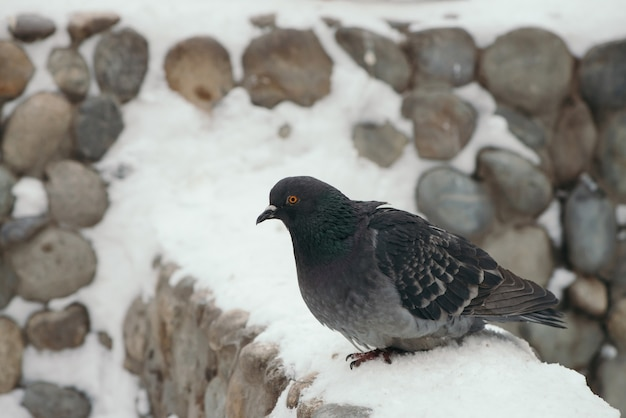 Gray pigeon on round fence in park in winter