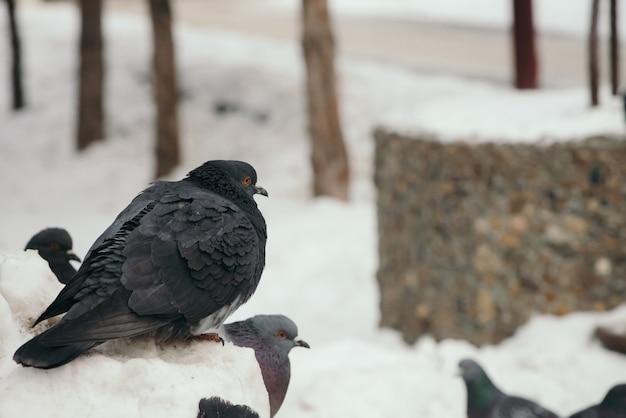 Серый голубь сидит на сугробе в парке зимой в окружении других голубей