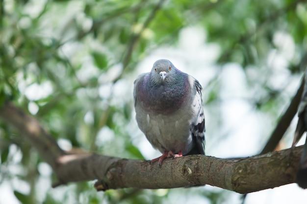 나뭇가지에 앉아 회색 비둘기