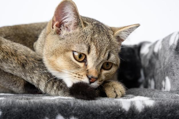 灰色の純血種の子猫スコティッシュストレートチンチラは白い背景の上に横たわっています、猫は休んでいます、クローズアップ