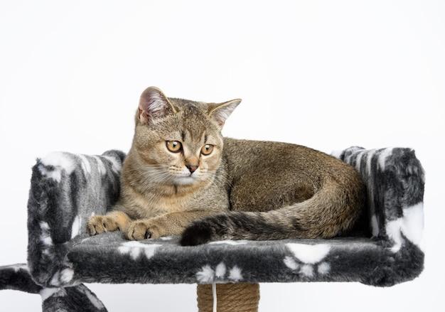 Серый породистый котенок шотландская прямая шиншилла лежит на белом фоне, кошка отдыхает