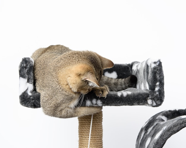 Gray purebred kitten scottish straight chinchilla lies on a white background, the cat is playing