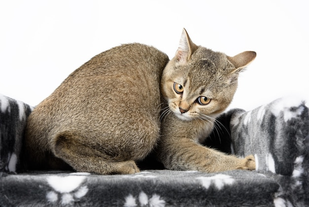 Gray purebred kitten scottish straight chinchilla lies on a white background, the cat is resting