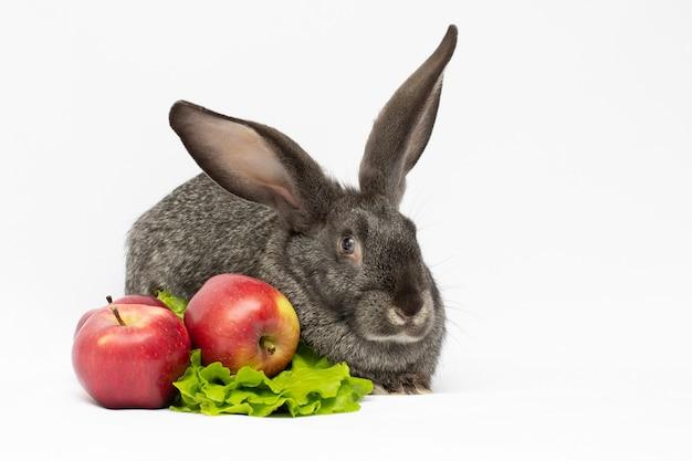 회색 토끼는 애완 동물 copyspace에 대한 두 개의 사과 식품 생태 관리와 함께 먹는다