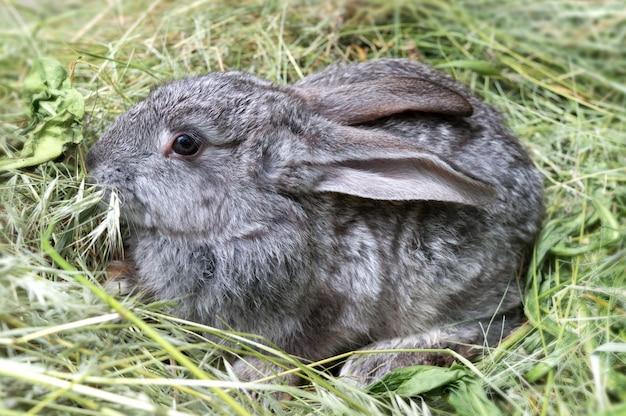 刈った草の山の上に座っている灰色のウサギ。ペット。