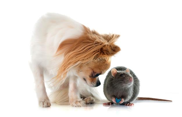Gray rat and chihuahua dog