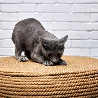 灰色のロシアンブルーの猫は、大きな引っかき傷のある枝編み細工品のオットマンの爪を鋭くします